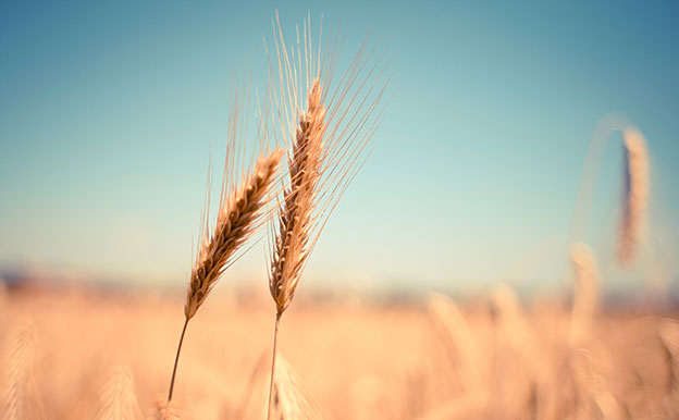 Titelbild Weizen Feld